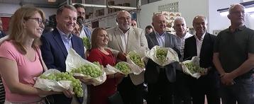 Se inicia la campaña de recolección de la Uva de Mesa Embolsada del Vinalopó en los campos del interior de la provincia de Alicante