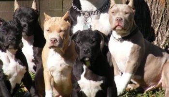 Muere un hombre de 66 años en Beniarbeig por las dentelladas de 5 perros de raza peligrosa