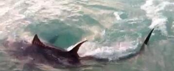 Un tiburón de 3 metros provoca el cierre de la playa de La Mata en Torrevieja